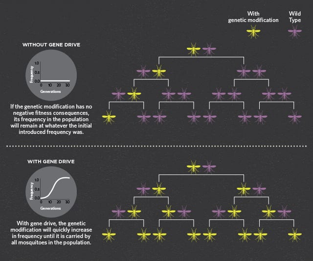 How gene drives spread infographic