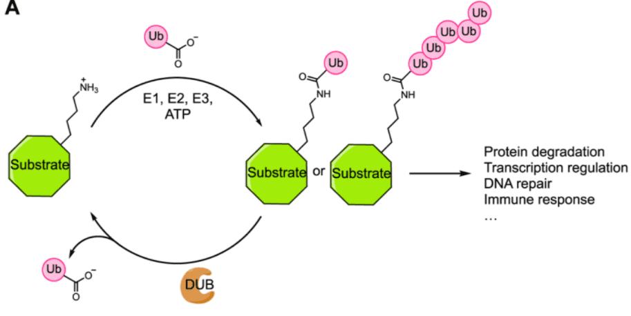 Ubiquitination Pathway